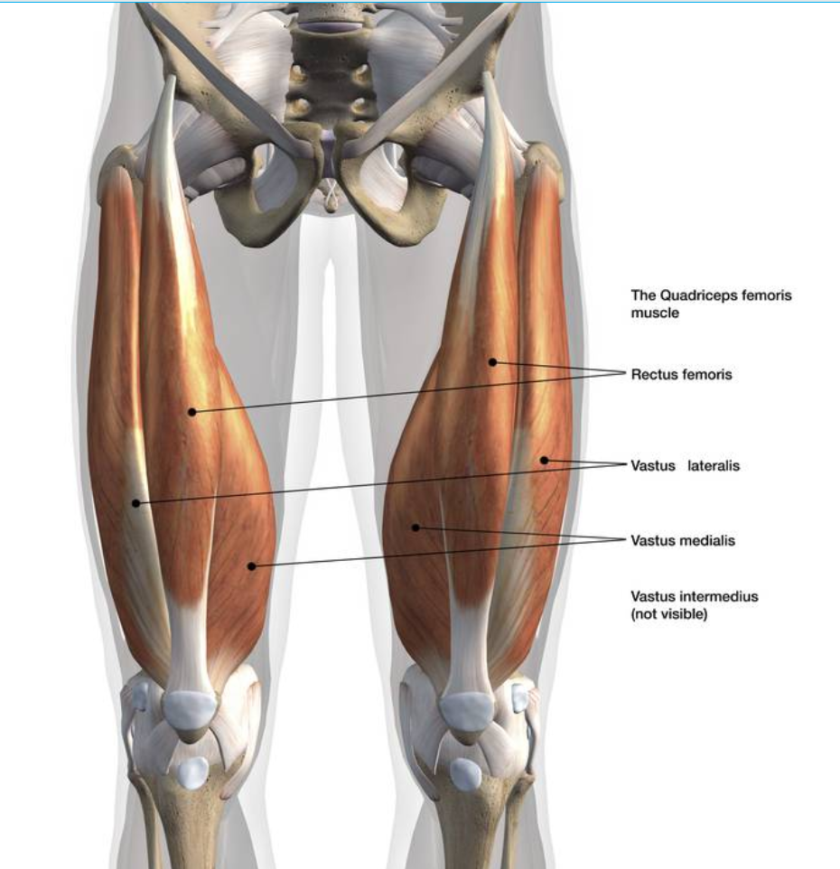 A diagram of knee muscles