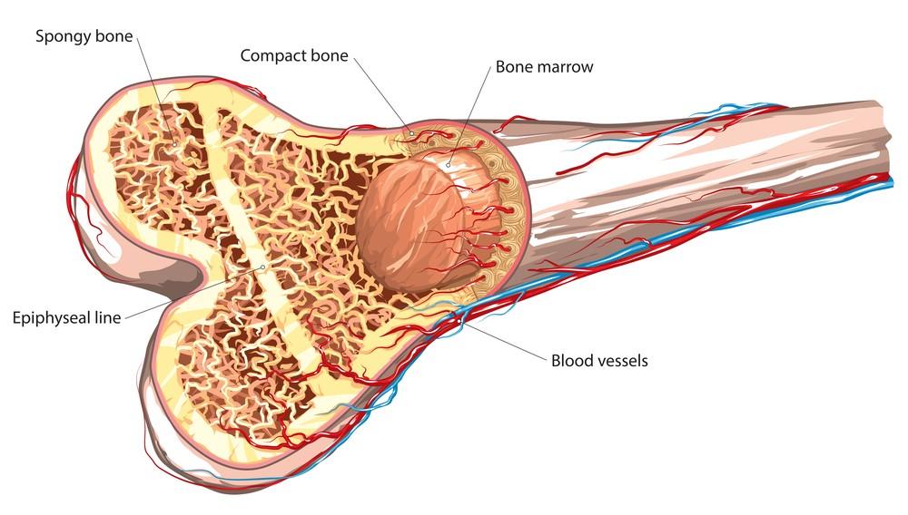 A cross-section diagram of bone marrow